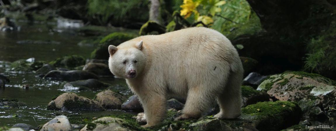 Biało na czarnym – niedźwiedzie duchy